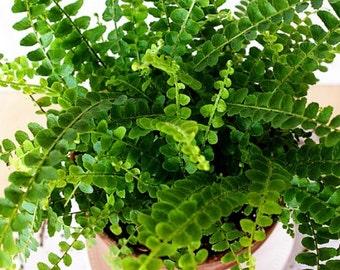 "Hirt's Lemon Button Fern - 4"" Pot - Nephrolepis cordifolia Duffii"