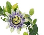 Passionflower Supreme Tincture