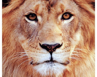 African Lion Poster, King of the Jungle, Africa, Male Lion with Mane, Big Cat