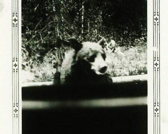"Vintage Photo ""Curious Cub"" Animal Bear Snapshot Photo Antique Photo Black & White Photography Found Photo Paper Ephemera Vernacular - 10"