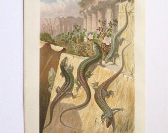 Antique 1883 chromolithography Brehm's Tierleben animal print Mauereidechse wall lizard