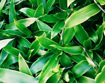 Callisia Fragrans - Chain Plant - Medicinal Houseplant - False Bromeliad - 2 Live Plants Cuttings