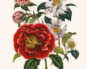 English Cottage, Art Print Flower (English Countryside Flowers, Botanical Poster) Victorian Illustration, Jane Loudon Camellia Flowers #16