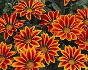 50 Seeds Gazania Kiss Orange Flame Seeds Flower Seeds