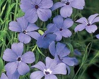 Viscaria Seeds Viscaria Oculata Blue 500 Seeds