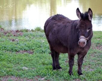 Donkey Photography Print