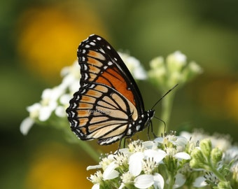 Viceroy Butterfly, photo, print, insects, butterflies, art, nature photography, home decor, wall art, free shipping, metal, wildlife