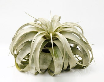 """Air plants Tillandsia  """" Xerographica """" by Joinflower joinfolia"""