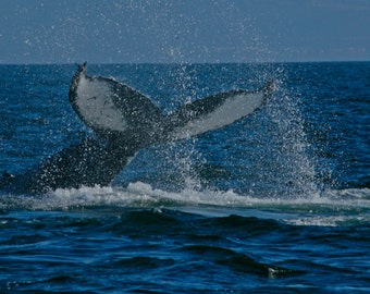 Montery Whale splash