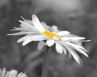 Daisies Photography Floral Print Black And White Color Accent - Black and white photography with color accents