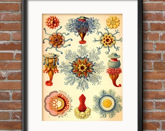 Ernst Haeckel Jellyfish Print: Siphonophorae Jellyfish Art - Art Nouveau Scientific Illustration - Natural History Art - 0386