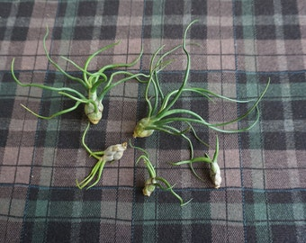 Air Plant Tillandsia bulbosa [Plant Only]