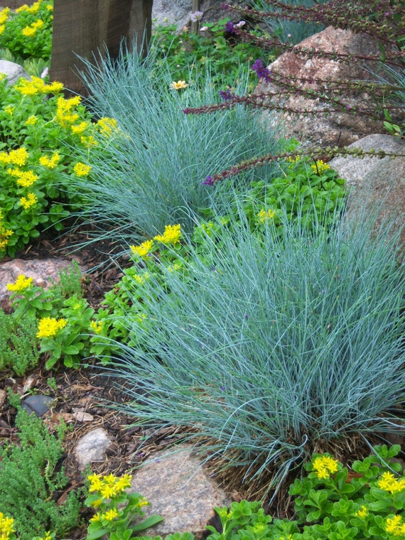 Ornamental grass blue fescue fesnea ovina glauca perennial for Spiky ornamental grass
