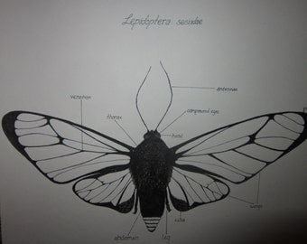 Scientific Drawing - Clear Winged Moth Scientific Illustration
