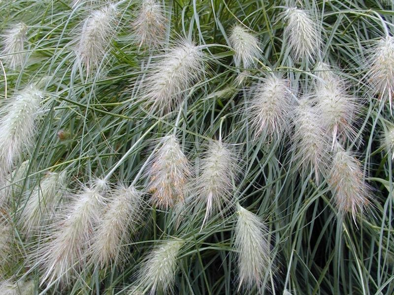 Ornamental grasses five pennisetum villosum five live for White ornamental grass