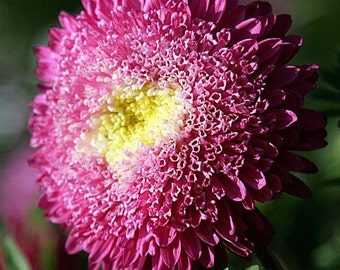 Aster Flower Seeds Bord Chinesis from Ukraine #967