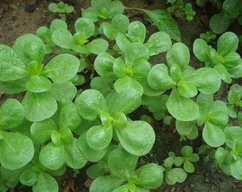 Seeds Herb Portulaca Oleracea annuals Organic Heirloom #568