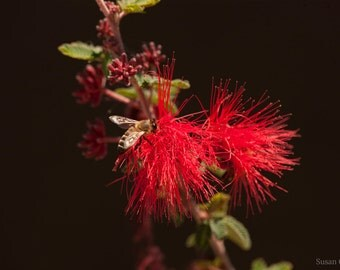 Baja Fairy Duster (Calliandra californica)