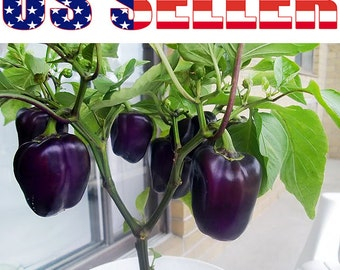 30+ Purple Beauty Pepper Seeds Sweet RARE Heirloom Crisp Delicious Juicy USA