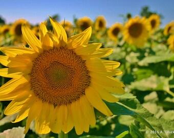 Sunflower in August
