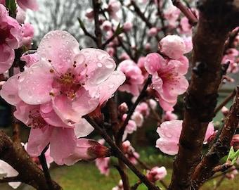 Original Fine Art Digital Photograph Giclee Print:  Peach Blossoms
