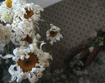 SHASTA DAISY  naturally DRiED Herb and Flower Bunches
