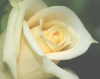 Yellow rose stock photo image free use