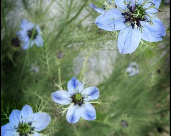 Blue Green Floral Flower Photograph--C'est Bleu--Fine Art