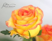 Yellow and pink rose photo, floral wall art, yellow decor, girl decor, nursery decor, minimalist art, romantic photo, yellow rose print