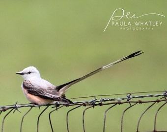 Scissor-tailed Flycatcher photo, Flycatcher print, bird print, Flycatcher photo, Scissor-tailed bird print, Scissor-tailed photo, bird photo