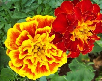 Marigold Blossoms Candle Soap making  2 Oz Fragrance Oil - Calendula - Summer Floral Scent - Supplies - Phthalate-free