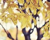 "Yellow wall art, fine art photography print, gold yellow leaves, fall autumn decor, tree oversized wall art  16x16  ""Turning into Gold"""