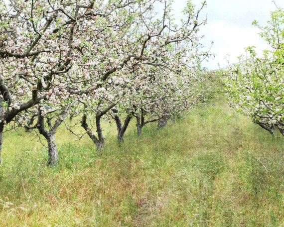 """Country landscape - fine art photography - french country style - flowering fruit trees - pale olive green - apple trees """"Apple Orchard"""""""