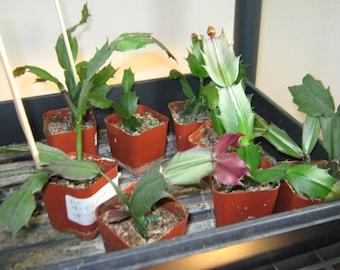 christmas cactus live plant