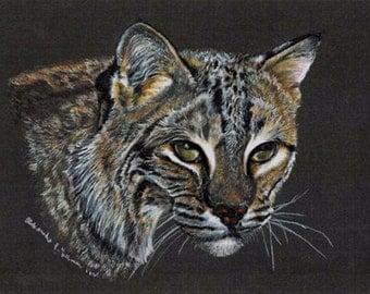 Colored Pencil  Bobcat Drawing