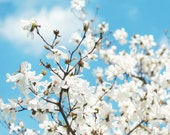 Color photography, fine art nature photo, white dogwood blossoms, blue sky, dreamy spring wall art, flower photograph