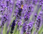 Lavender With Bee art for wall.  Flower still life wall art or wall art from still photography.  Fine art print for home decor or wall art.
