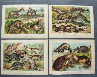 4 Antique 1880 Animal Prints from Mammalia by Henry J. Johnson Carnivora