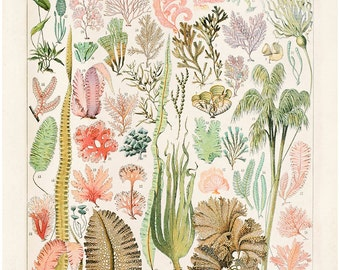 Seaweed Algae Print. Vintage Reproduction Poster Illustrated by Adolphe Philippe Millot. French Le Petit Larousse Algues Coral Sea. CP243
