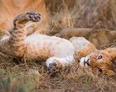Animal Nursery Decor, LAZY BABY LION , Baby Animal Photograph, Wildlife Photography, Kids Room, Safari Nursery Art, Cute Lion Cub, New Baby