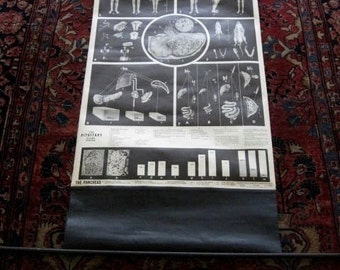 The Pituitary Gland Lg Medical Chart 1945 Weird Strange Medical Canvas w Wood Roller Pancreas