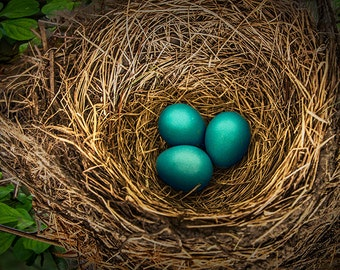 Nest of Robin Blue Eggs on a Tree Branch A Sure Sign of Spring in Michigan No.20345 Fine Art Bird Nature Photography