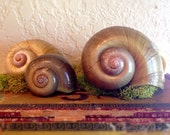FOR SABINE Beautiful Giant Snail Shell Natural History Curiosity