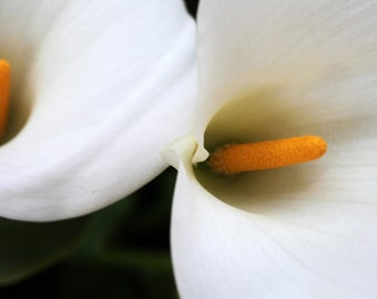 Calla Lily photo, Lily Photography, White Flower Photo, floral wall decor, nature photography, flower photography, floral photo,flower print