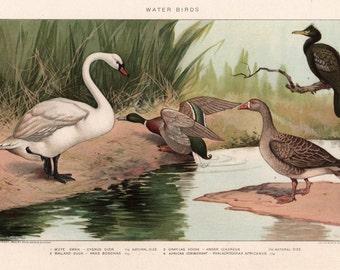 Antique bookplate WATER BIRDS Swan Mallard Duck Goose Cormorant Colorful bird print Encyclopedia plate 1911 Avian Aviary Nature Framable art