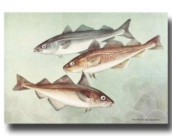 "Fish Wall Decor, Fish Print (Vintage Ocean Art, Gifts for Fishermen) --- ""Cod, Haddock, Pollock"" No. 41"