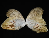 "11-13"" Pheasant wings Taxidermy bird avian pair feathers wing feather set WING04"