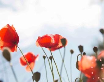 Poppy photo Stockphoto Background
