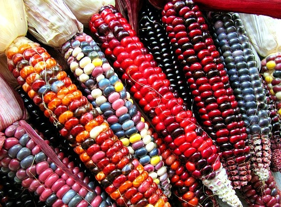 painted mountain heirloom dent corn 30 rare seeds non gmo