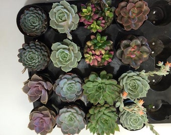 Succulent Plants - 16 Party Pack in pots.  For Terrariums, Wedding, Favors, Centerpieces, Boutonnieres and More